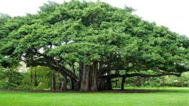Photo of Pohon Beringin biasanya Angker !
